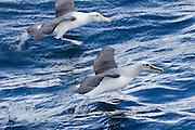 Buller's Albatross, Stewart Island, New Zealand