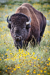 American Bison bull in wildflowers, Vermejo Park Ranch, New Mexico, USA.