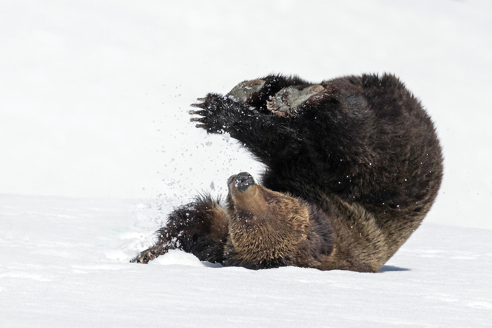 A grizzly sow cools off in the spring snow during Yellowstone's opening day, 2014. With temperatures unseasonably warm, the snow was a welcome relief for a grizzly in her heavy winter coat.