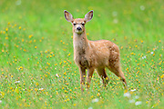A black-tailed fawn poses in a colorful Mid-Summer meadow, Pacific Northwest