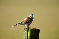 Kestrel (Falco tinnunculus) female, perched on a post, Elmley Marshes RSPB Reserve, England, : Photo by Peter Llewellyn