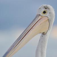 Pelicans-Rockingham