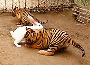 QINGDAO, CHINA - SEPTEMBER 10: (CHINA OUT) <br /> <br /> Two two-month-old Siberian tigers play with a rabbit during a wild training at Qingdao forest wild animal world on September 10, 2013 in Qingdao, China. The two cubs were defeated by the rabbit, and zoo keepers had to put their mother into the cage. <br /> ©exclusivepix