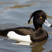 Male tufted duck (Aythya fuligula) with his characteristic tuft clearly on display