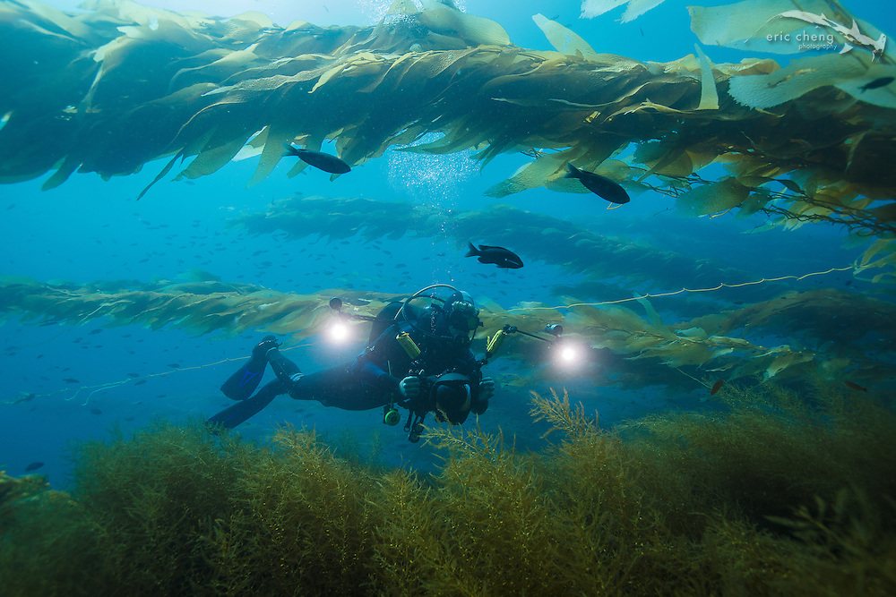 Underwater photographer and scuba diver Joe Platko in the kelp forest at Eagle Reef, Catalina, Channel Islands, California.