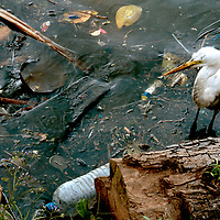 A polluted shoreline in Colombo, Sri Lanka is home to birds, like this egret, lizards, fish and other wildlife. The animals show tremendous resiliance surviving in such a deteriorated environment.