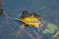 Bullfrog waiting in a pond in Upstate, NY.