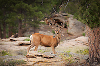 Mule deer with velvet antlers in Rocky Mountain National Park, Colorado.