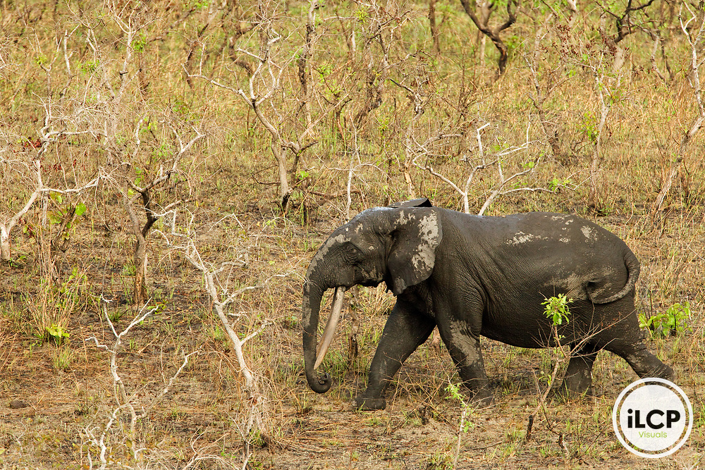 African Forest Elephant (Loxodonta africana cyclotis) bull walking in savanna, Lope National Park, Gabon