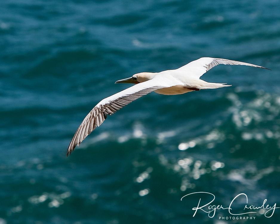 This albatross was soaring the winds along the North Shore of Kaua'i Hawaii near the Kilauea Point National Wildlife Refuge.