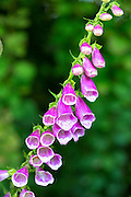 Foxgloves in bloom in summer, The Cotswolds, England, United Kingdom