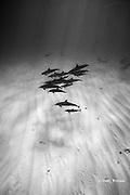 Hawaiian spinner dolphins or Gray's spinner dolphin, Stenella longirostris longirostris, North Kona, Hawaii ( the Big Island ), USA ( Central Pacific Ocean )