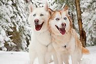 Siberian Huskies pulling a sled