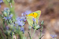 Colias eurytheme (Orange Sulphur) ♀ at Dry Meadow Creek, Tulare Co, CA, USA, on Mint 09-Jul-17