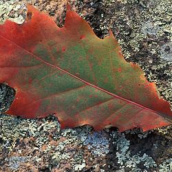 Deerfield, NH.  Northern Red Oak, Quercas rubra, leaf in fall.  Pawtuckaway State Park.