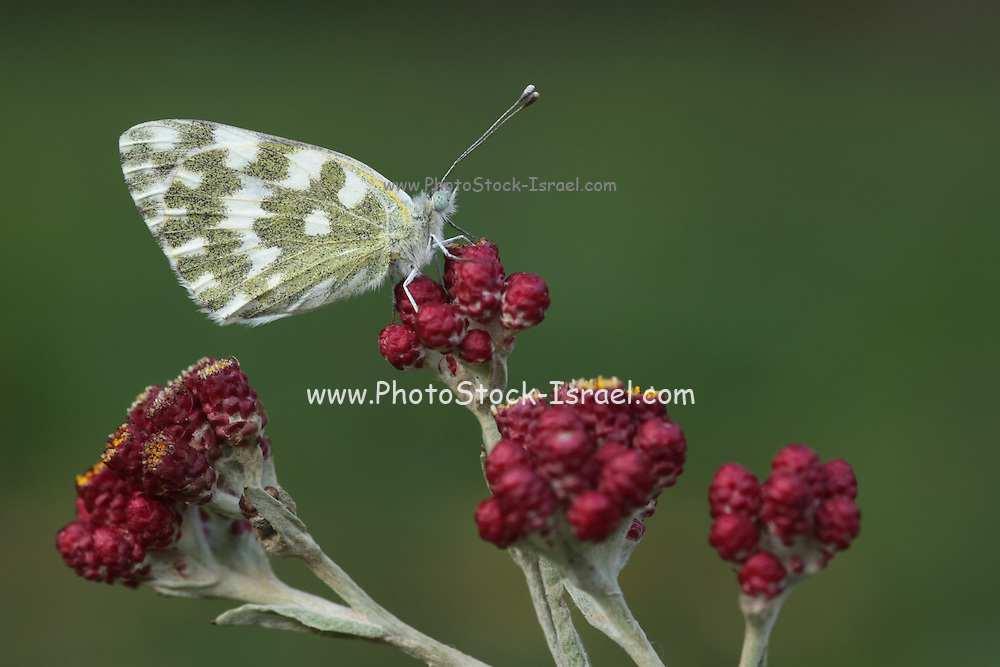 Bath White (Pontia daplidice) Butterfly  Red Everlasting (Helichrysum sanguineum) Photographed in Israel in May