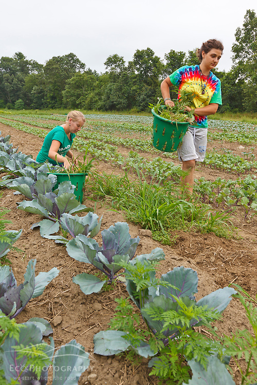 Farmhands Emily Chiara and Leah Visconti pulls weeds in a field of vegetables at the Crimson and Clover Farm in Northampton, Massachusetts.