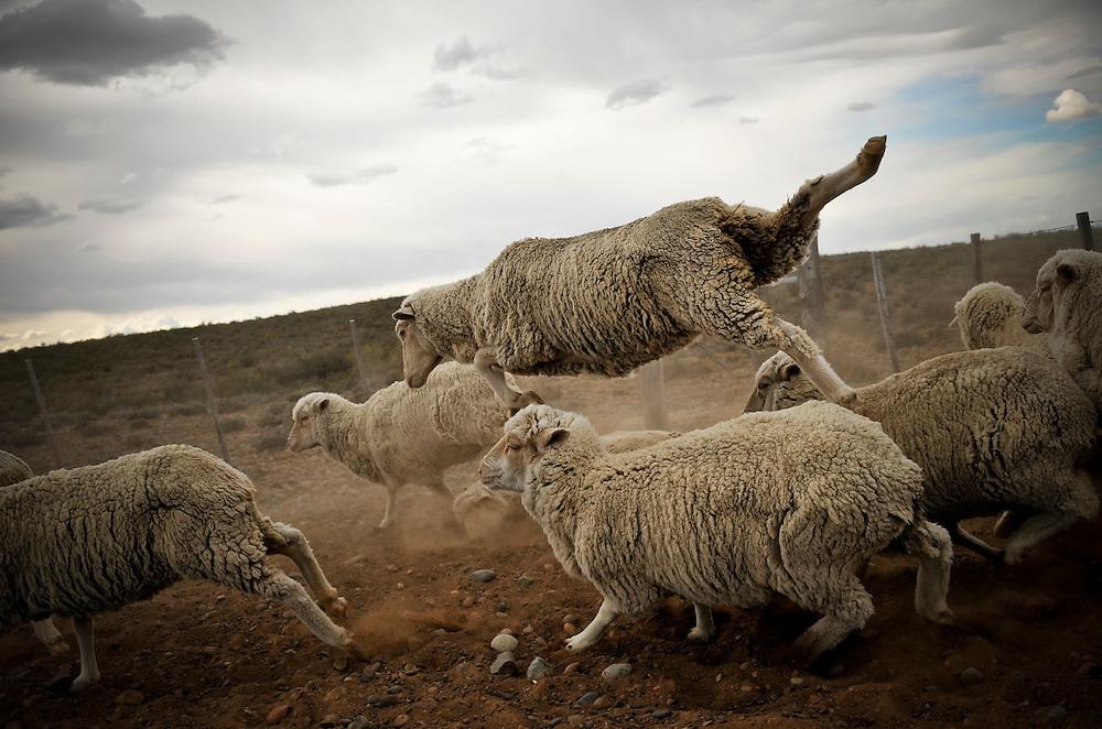 Sheep at Bahia Bustamante ranch in Patagonia, Argentina.