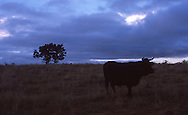 Early morning, bull in an open field on the Camino de Santiago.  Near Atapuerca.
