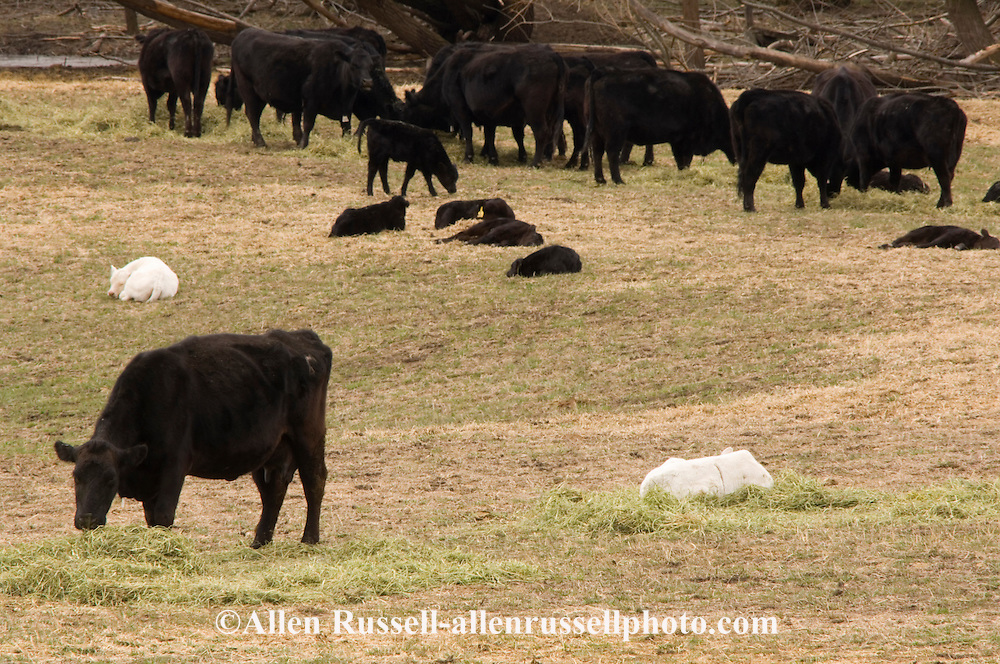 Aberdeen Black Angus and Charolais cross calves with mother cows, Montana