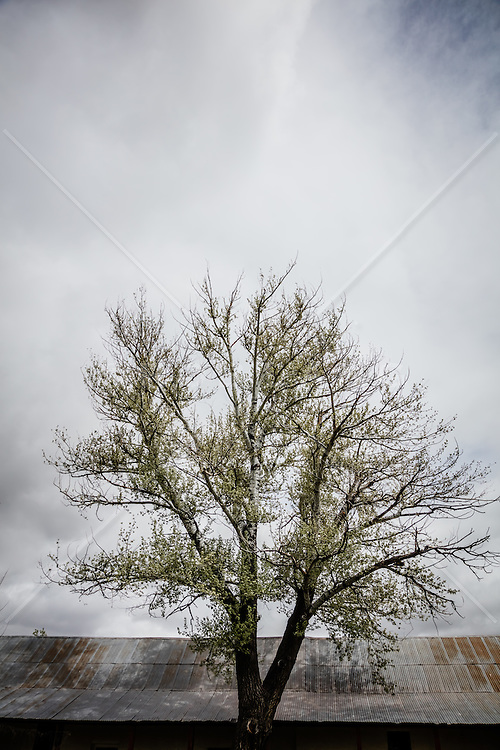 Cottonwood Tree and tin rooftop in New Mexico