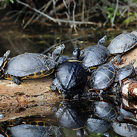 Yellowbelly Sliders (Trachemys scripta) and Painted Turtles (Chrysemys picta) basking on log on cool spring day in Pocosin Lakes National Wildlife Refuge. North Carolina