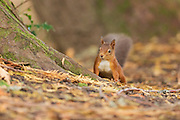 Red squirrel on the ground amongst the trees of the arboretum at the Aigas Field Centre.