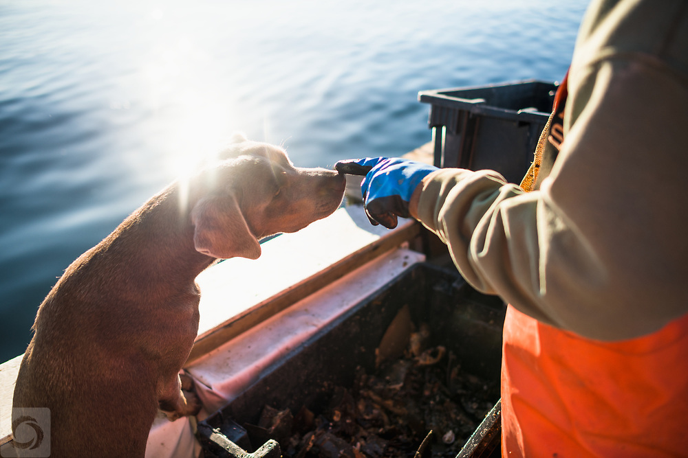 Aquaculture shellfishing for conch an early morning on Narragansett Bay in Rhode Island
