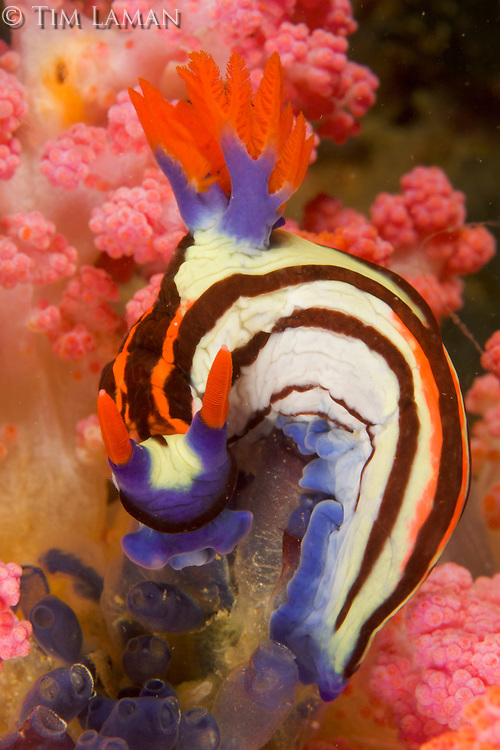 Nudibranch (Nembrotha purpureolineolata) feeding on tunicates (ascidians).