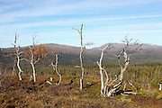 Mountain trees, Tydal in Norway.