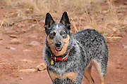 An Australian cattle dog along the Arizona Trail in Gardner Canyon in the Santa Rita Mountains of the Coronado National Forest in the Sonoran Desert north of Sonoita, Arizona, USA.