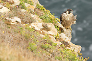 Juvenile peregrine (Falco peregrinus)on the Dorset coast.
