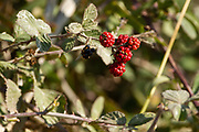 raspberry bush. close up of the red and black edible fruit. Photographed in Israel in January