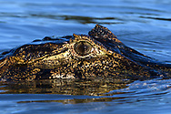 Close-up portrait of an yacare caiman (Caiman yacare), in the Pantanal, Mato Grosso, Brazil