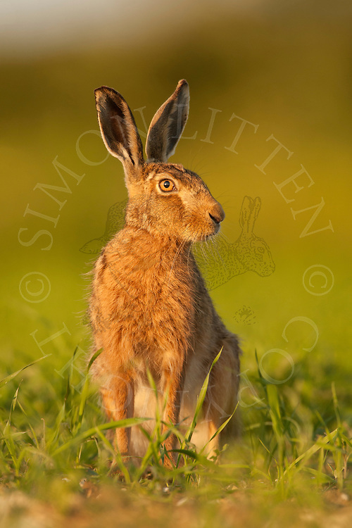 European Hare (Lepus europaeus) adult, sitting up in set-aside area, Norfolk, UK.