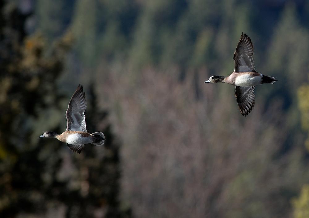 A pair of widgeon in flight
