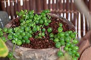 Senecio rowleyanus, commonly known as string-of-pearls or string-of-beads, is a creeping, perennial, succulent vine belonging to the family Asteraceae.
