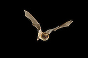 A long-legged bat (Myotis volans) in flight at night. Coconino National Forest, Arizona.