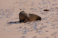 Galapagos Sea Lion (Zalophus californianus wollebaeki or Zalophus wollebaeki)  and Jellyfish washed up on beach<br /> ECUADOR: Galapagos Islands<br /> Santa Fe Island<br /> 19-Aug-2010<br /> J.C. Abbott &amp; K.K. Bauer