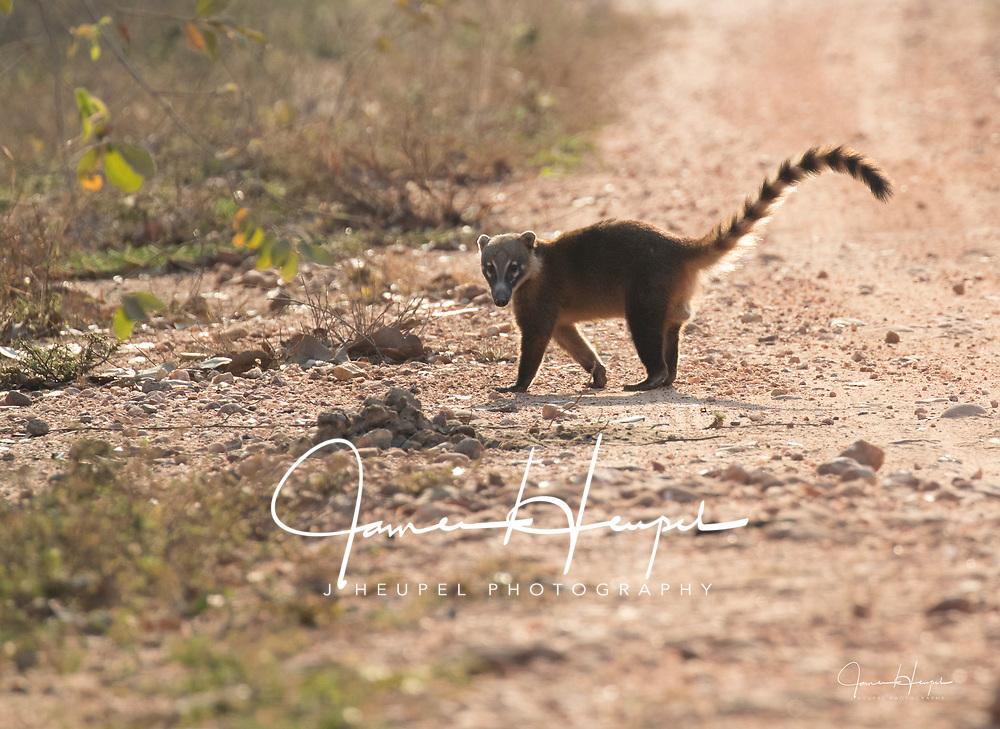 Coati Looks for Danger