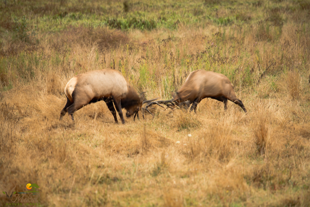 Sparring Bull Roosevelt elk, blurred action