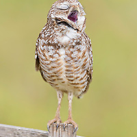 Burrowing owl (Athene cunicularia) appears to belt out a tune while yawning enthusiatically. Photographed in Cape Coral, southwest Florida.
