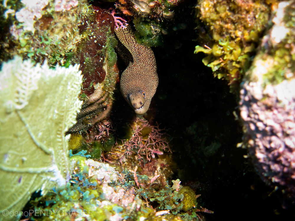 A goldentail moray eel pokes its head out of a crack in the coral reef surrounding Roatan, Honduras.