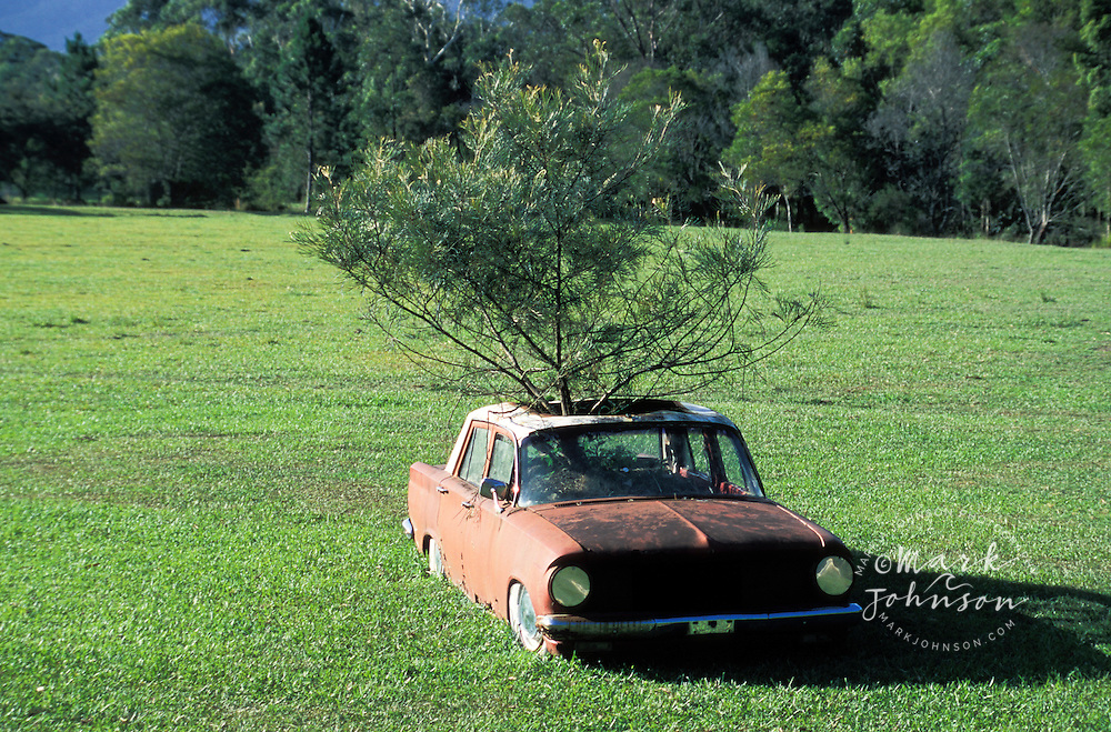Australia, NSW, old car with tree growing out of it.