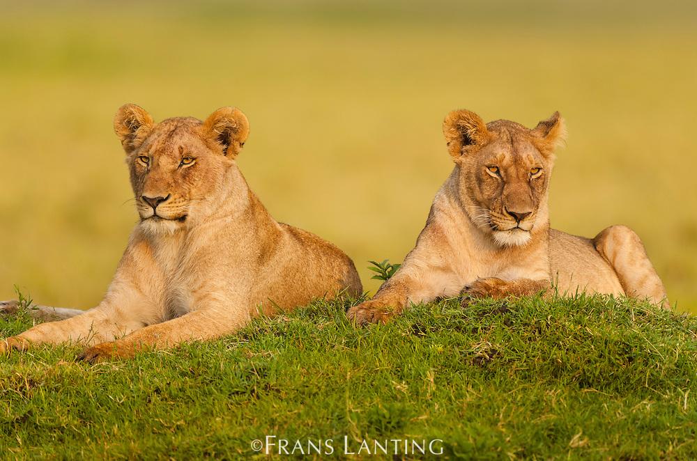 Young lions, Panthera leo, Masai Mara National Reserve, Kenya