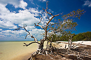 Dead sunbleached tree on edge of mangrove woodland, Islamorada, Florida Keys, United States of America