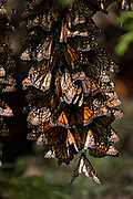 Monarch Butterflies mass together for warmth at the El Capulin Monarch Butterfly Biosphere Reserve in Macheros, Mexico. Each year millions of Monarch butterflies mass migrate from the U.S. and Canada to the Oyamel fir forests in central Mexico.