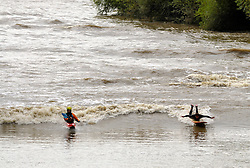 © Licensed to London News Pictures. 12/08/2014; Maisemore, Gloucestershire, UK.  Surfers and kayaks ride the Severn Bore at Maisemore on the banks of the river Severn near Gloucester.  The Severn Bore is a natural phenomenon of the incoming tide funneling up the river Severn from the Severn Estuary.<br /> Photo credit: Simon Chapman/LNP