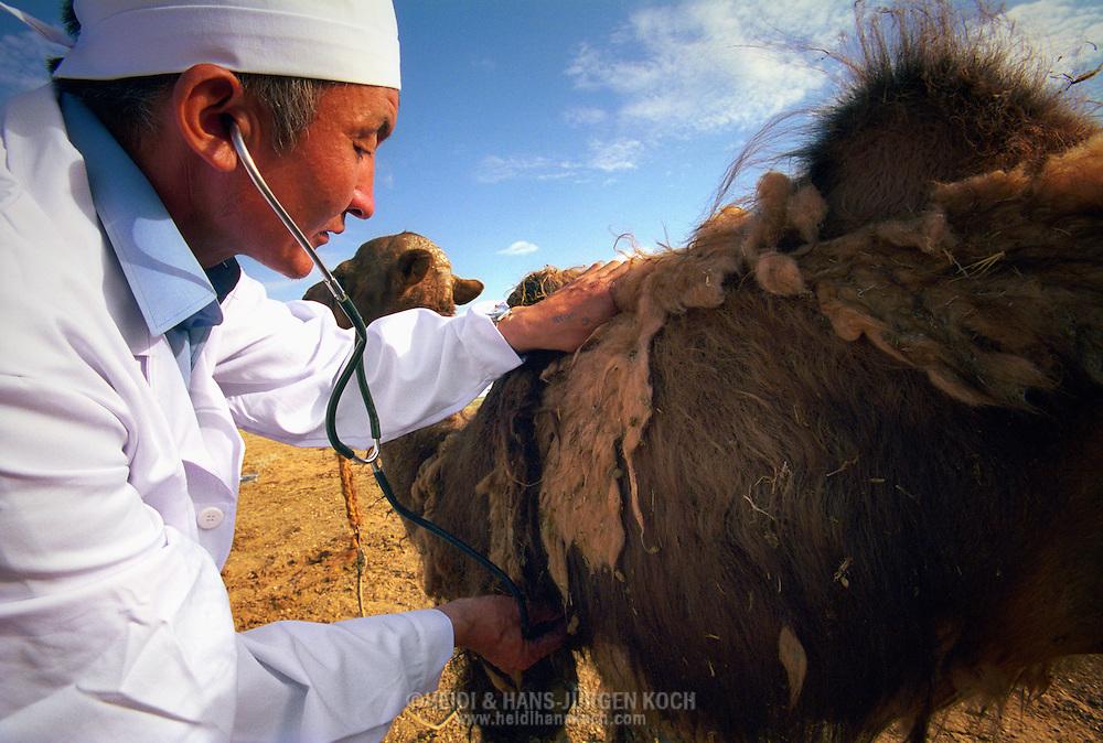Mongolei, MNG, 2003: Kamel (Camelus bactrianus). Tierarzt Dr. Erdenebilek untersucht in der südlichen Gobi ein Fohlen mit dem Stethoskop. Das Fohlen hat einen Abzeß am Kopf. Der Doktor trägt einen weißen Kittel und eine weiße Haube. | Mongolia, MNG, 2003: Camel, Camelus bactrianus, Veterinarian Dr. Erdenebilek investigating a faol in the middle of the Gobi, with a stethoscope, foal has an abscess on its head, Dr. Erdenebilek wearing a white cap and a frock, South Gobi. |