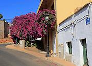 Attractive bougainvillea flowering plant, village of Toto, Pajara, Fuerteventura, Canary Islands, Spain